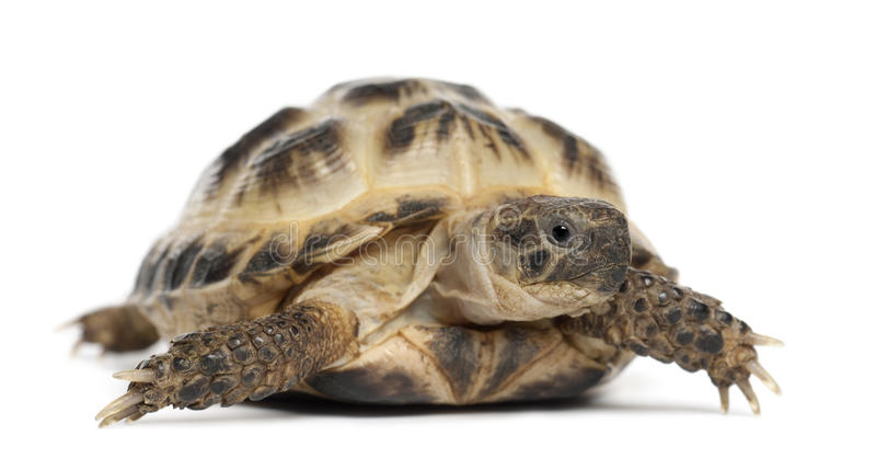 Tortuga rusa joven, tortuga de Horsfield imagenes de archivo