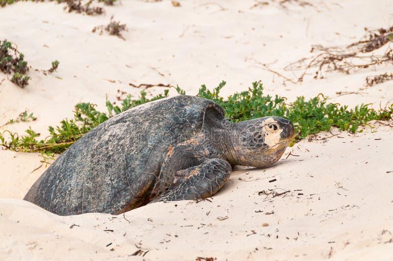 Tortuga verde de la colocación de huevo las Islas Galápagos imágenes de archivo libres de regalías