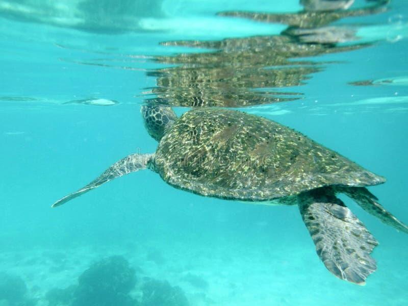 Tortuga verde de las Islas Galápagos imagenes de archivo