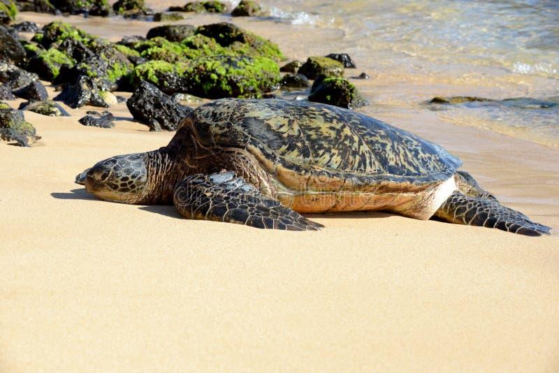 Tortuga verde, Kauai imagen de archivo libre de regalías