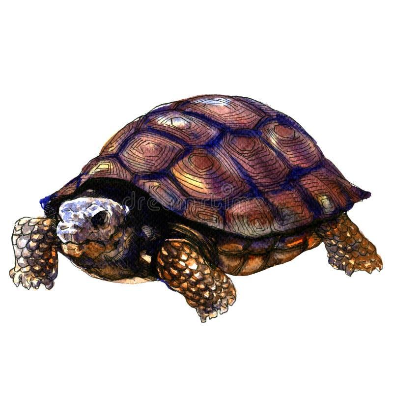 Tortuga vieja aislada, ejemplo del mar de la acuarela en blanco ilustración del vector