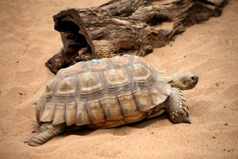 Tortuga vieja grande en un parque del parque zoológico de Tenerife fotos de archivo