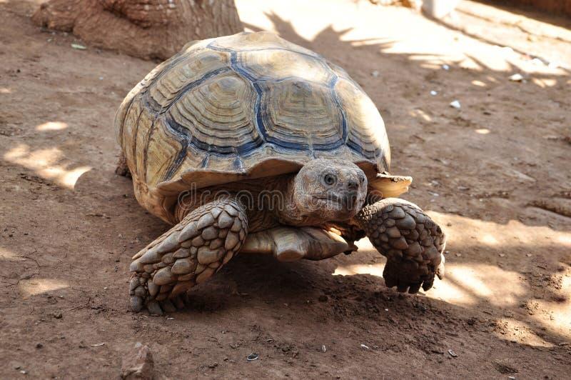 Tortuga vieja grande que camina lentamente en una arena fotografía de archivo libre de regalías