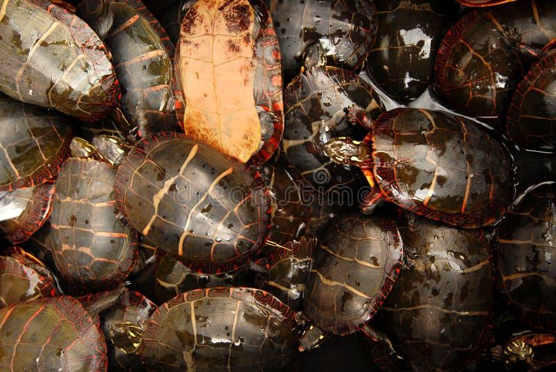 Tortugas imagenes de archivo