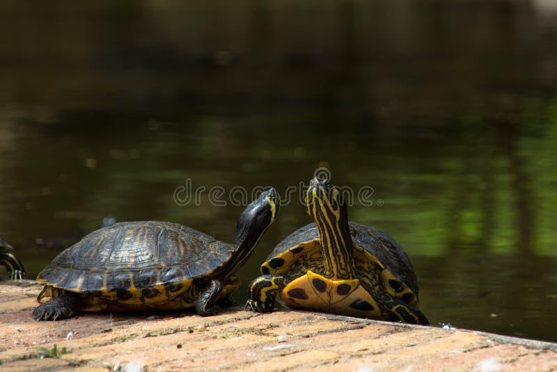 Tortugas стоковые изображения rf