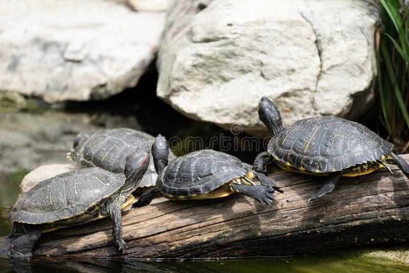 tortugas Amarillo-hinchadas del scripta del scripta de Trachemys del resbalador que se asolean en un registro en el parque zool?g foto de archivo