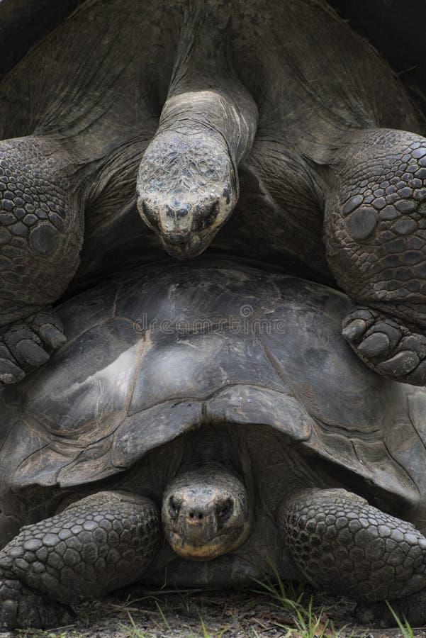 Tortugas de Aldabra que se acoplan cerca para arriba fotos de archivo libres de regalías