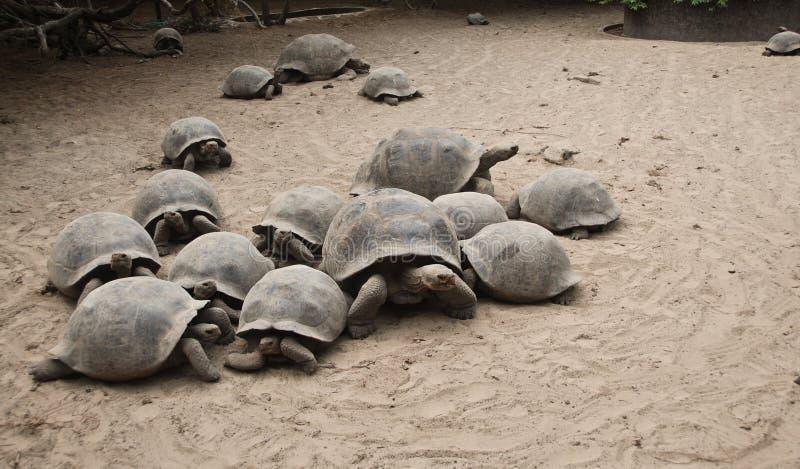Tortugas de las Islas Gal3apagos fotografía de archivo libre de regalías