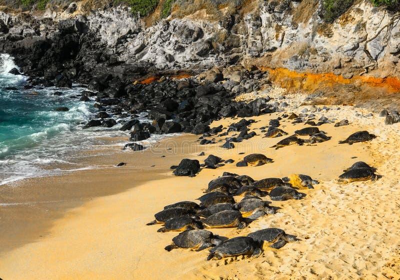Tortugas de mar verde hawaianas foto de archivo libre de regalías