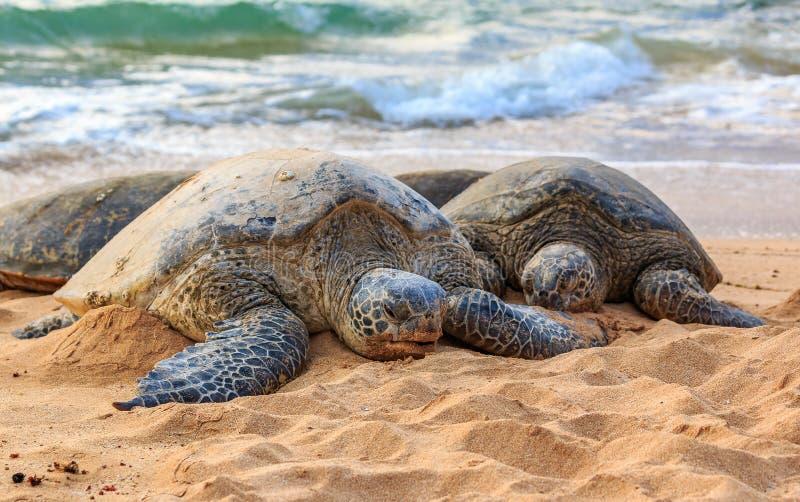 Tortugas de mar verde hawaianas en peligro en la playa en Shor del norte imagen de archivo libre de regalías