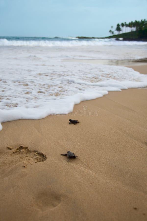 Tortugas del bebé imagen de archivo libre de regalías