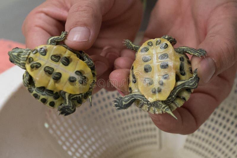 Tortugas del bebé imagenes de archivo