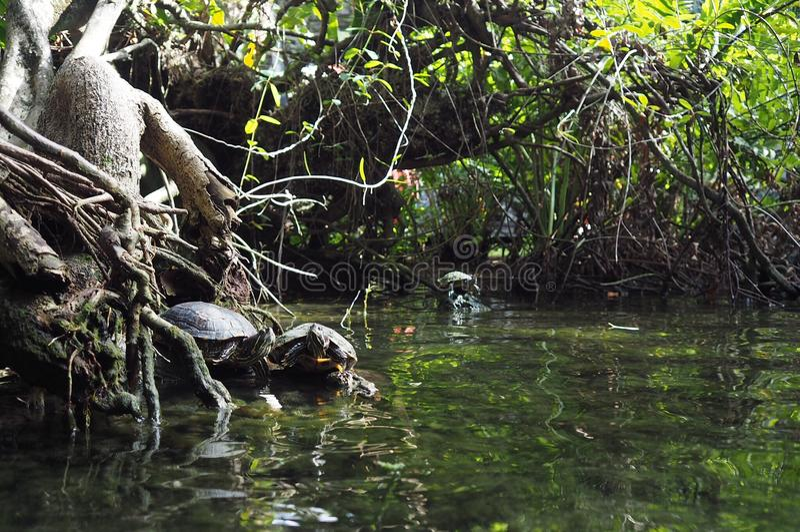 Tortugas en Gran Cenote, Yucatán imagen de archivo