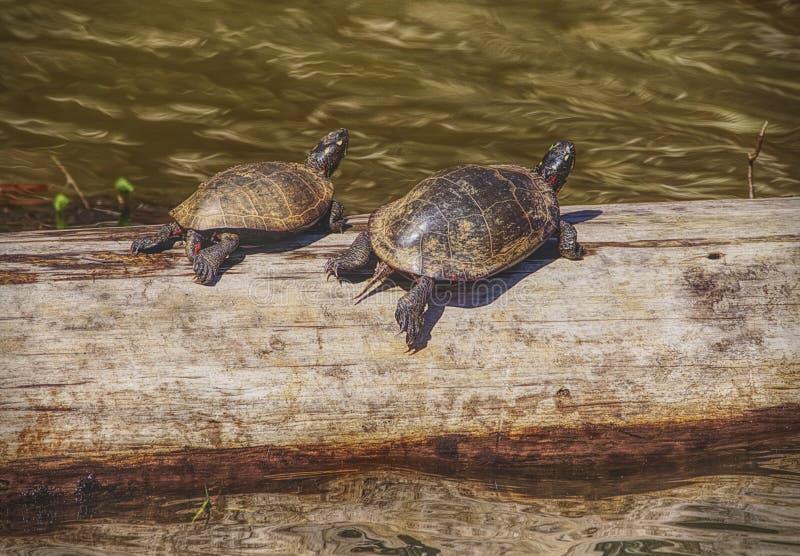 Tortugas en los humedales foto de archivo libre de regalías
