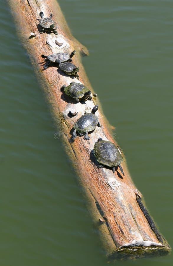 Tortugas en un registro foto de archivo
