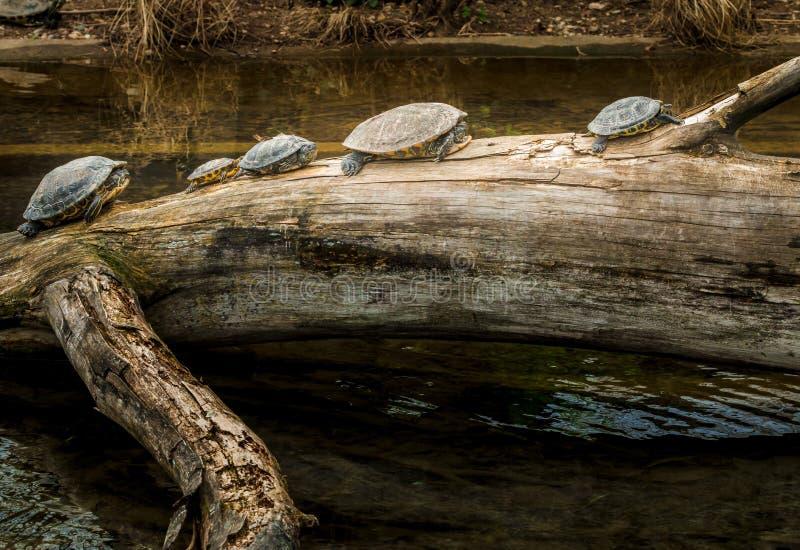 Tortugas en un tronco de árbol cerca del agua imagenes de archivo