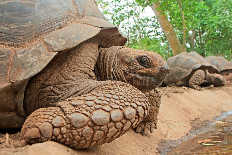 Tortugas gigantes de Aldabra fotografía de archivo libre de regalías