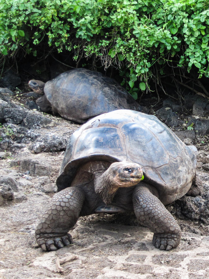 Tortugas gigantes en la isla de las Islas Galápagos fotos de archivo