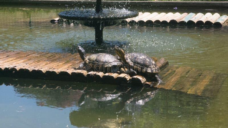 Tortugas pintadas que toman el sol imagenes de archivo