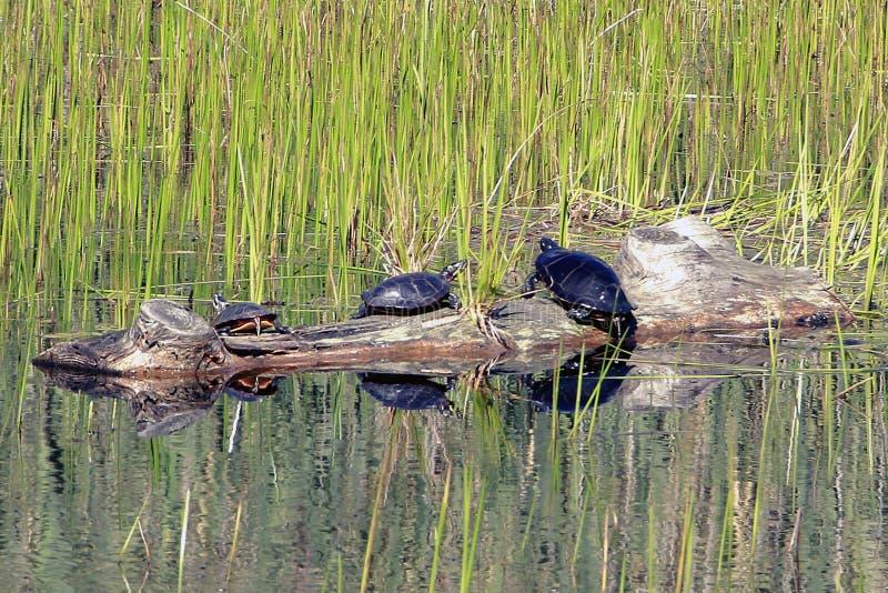 Tortugas que asolean en un inicio de sesión al área del pantano foto de archivo libre de regalías