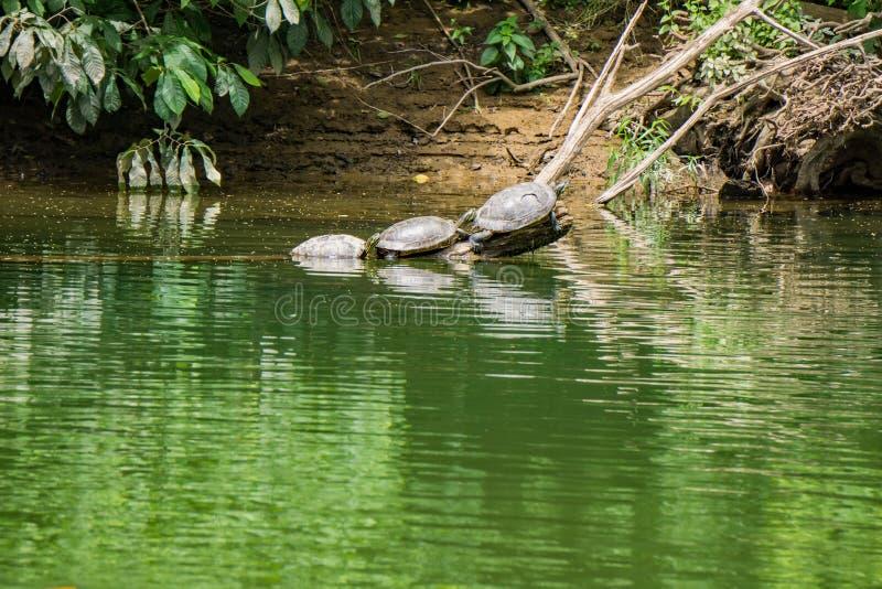 Tortugas que descansan sobre un registro foto de archivo