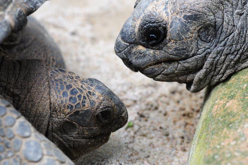 Tortugas que miran uno a fotografía de archivo