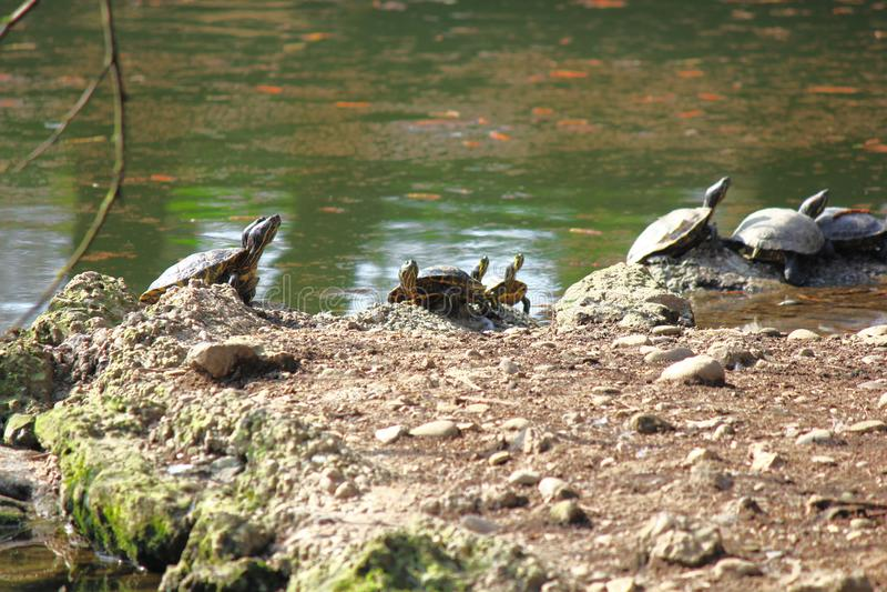 Tortugas que se colocan que toman resto debajo del sol en un pequeño lago imagen de archivo