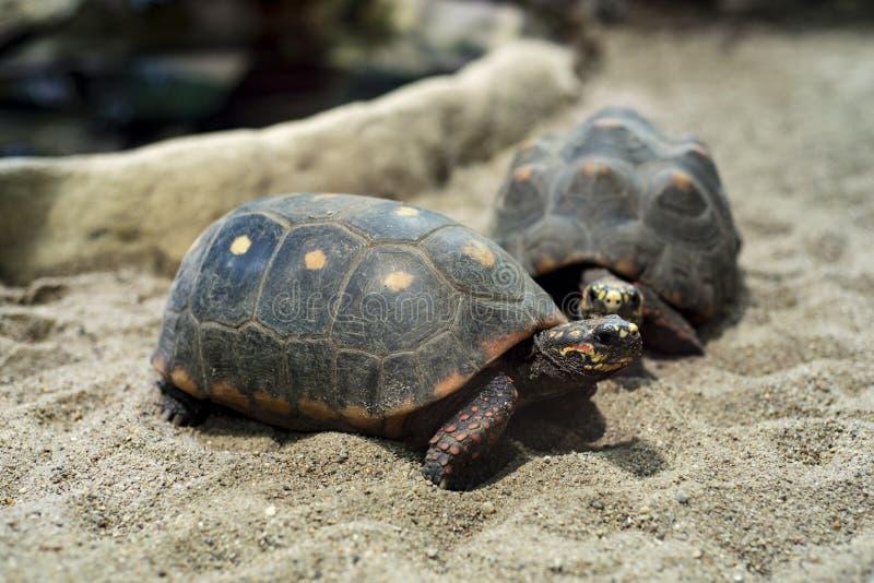 tortugas Rojo-con base imagen de archivo