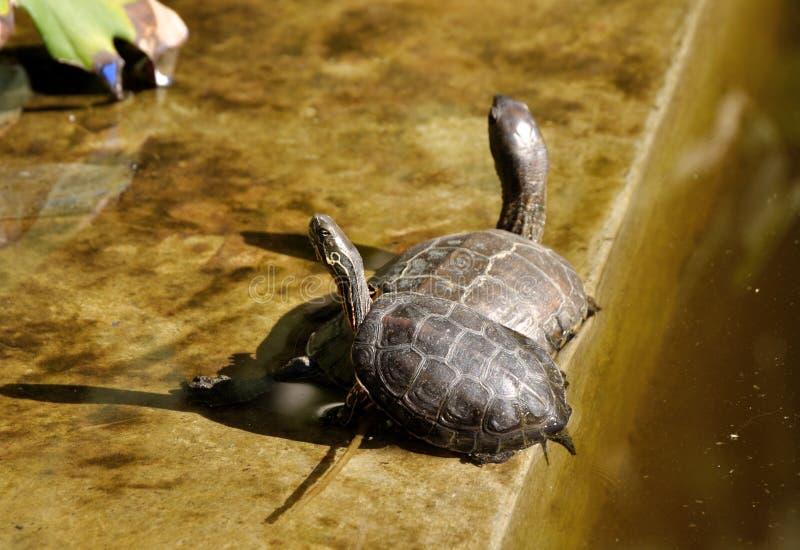 tortugas Rojo-espigadas imagen de archivo libre de regalías