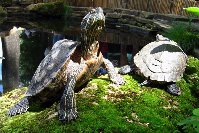 tortugas Rojo-espigadas ascendentes fuera de la charca fotografía de archivo