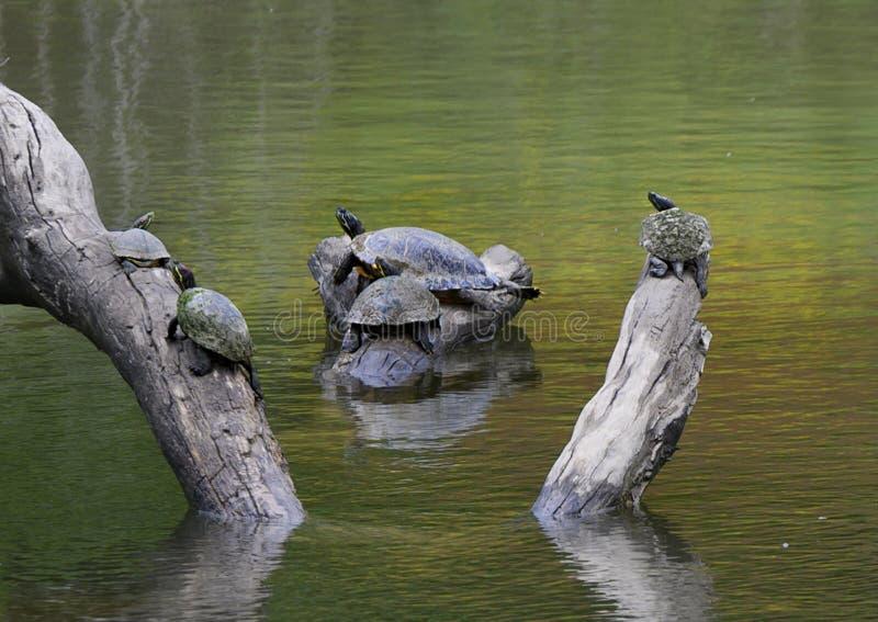 tortugas Rojo-espigadas del resbalador de la charca en un registro que gozan del sol en un río en el parque de Watercrest, Dallas foto de archivo libre de regalías