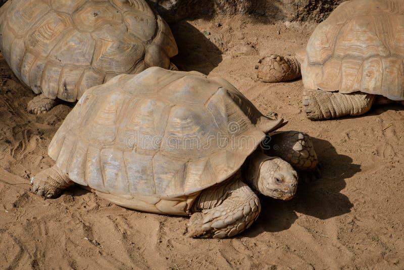 Tortugas, tortuga en la naturaleza - tortuga de las Islas Galápagos fotografía de archivo libre de regalías