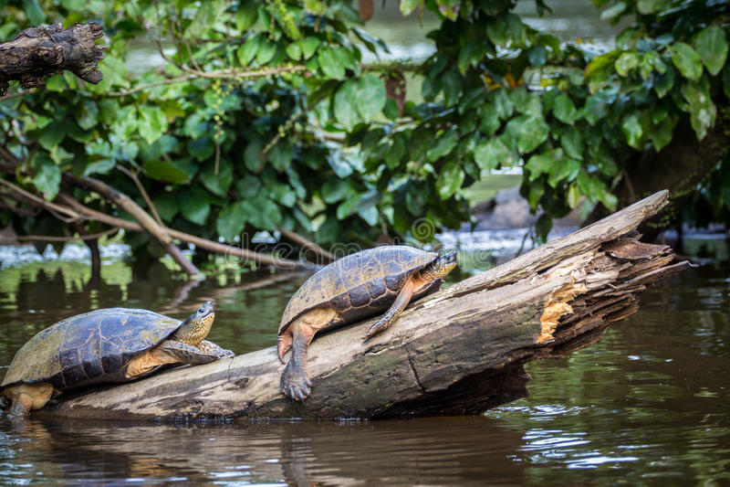 Tortuguero,哥斯达黎加,野生乌龟 免版税图库摄影
