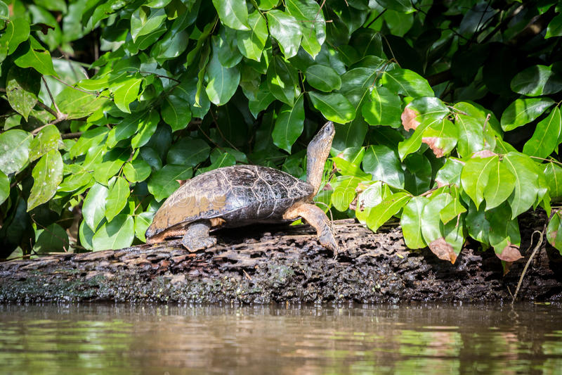 Tortuguero, Коста-Рика, одичалые черепахи стоковые фото