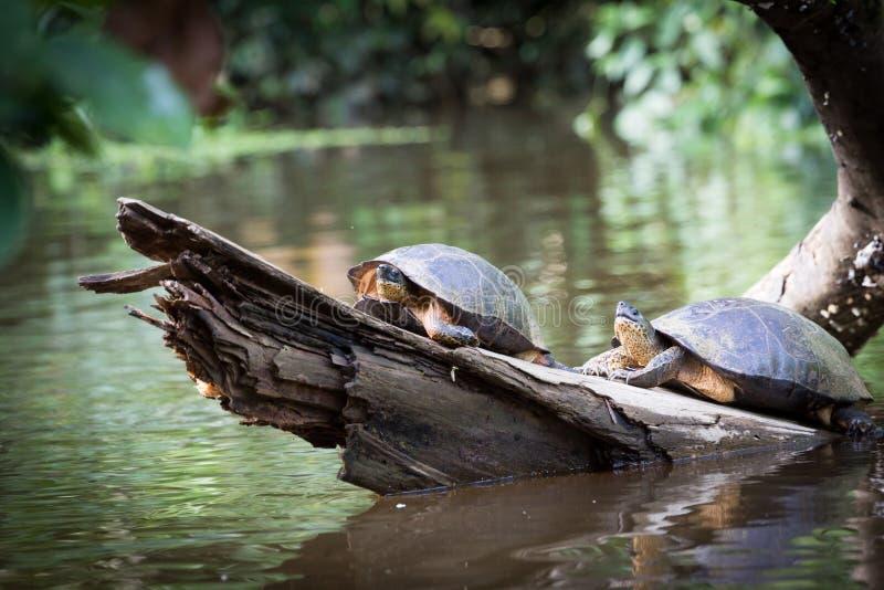 Tortuguero, Costa Rica, wild turtles. stock images