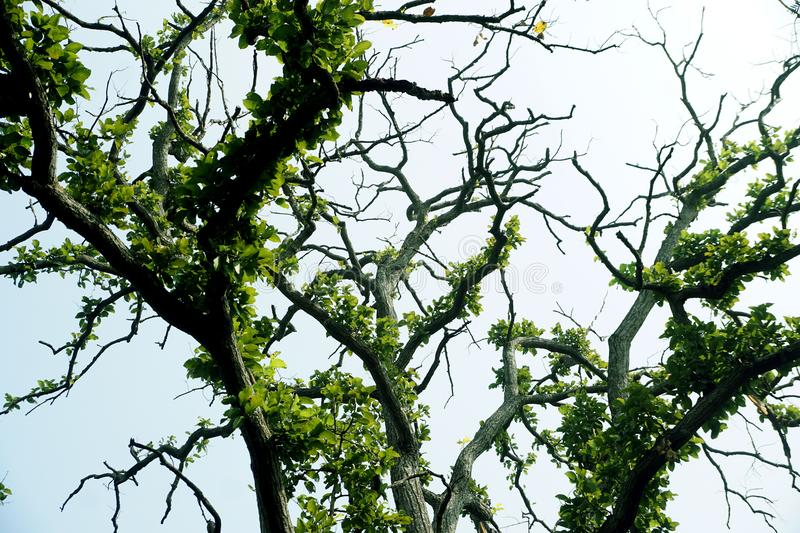 IMAGE OF TORTUOUS BRANCHES OF SHOREA ROBUSTA stock photography