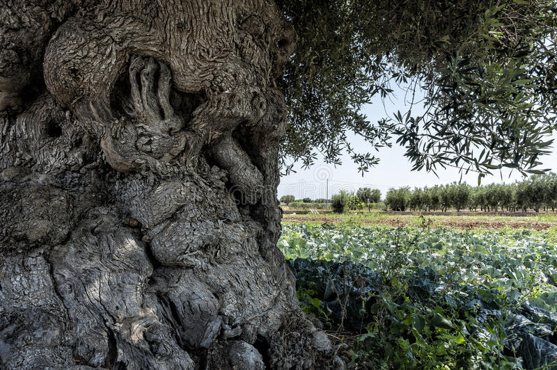Tortuous and massive olive tree royalty free stock images