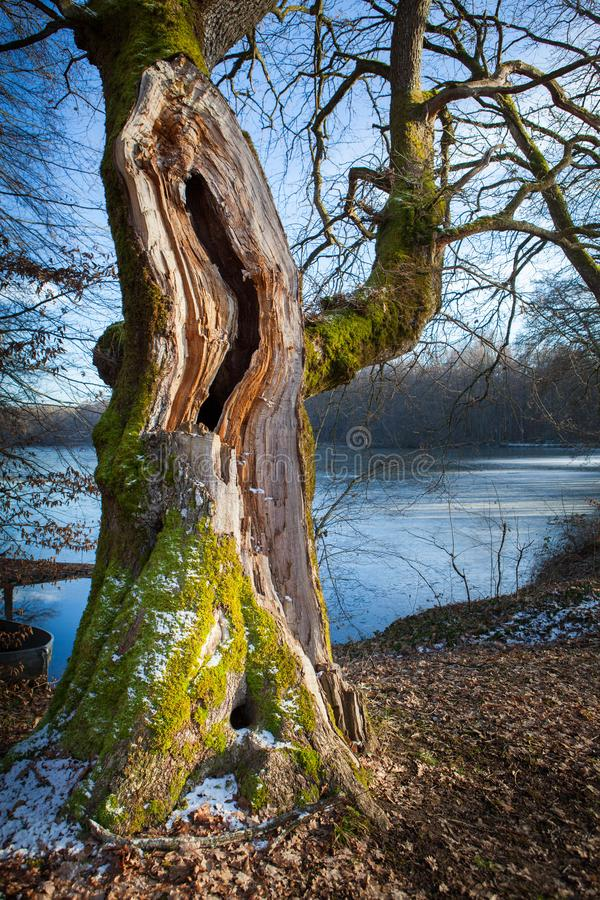 Tortuous tree with foam in front of a pond stock photography