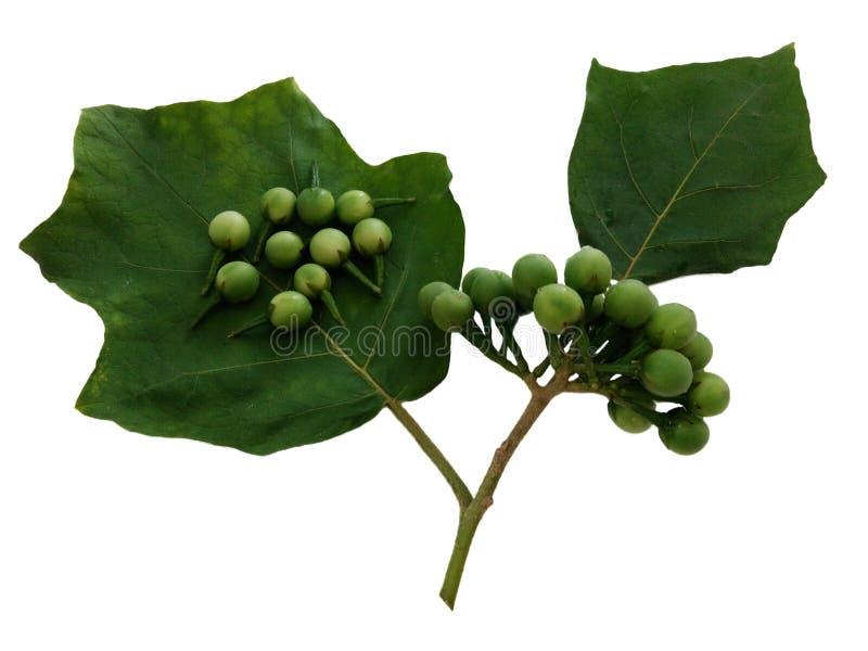 Torvum de la baya, de la solanácea de Turquía, manojo de la berenjena del guisante y hojas del verde foto de archivo