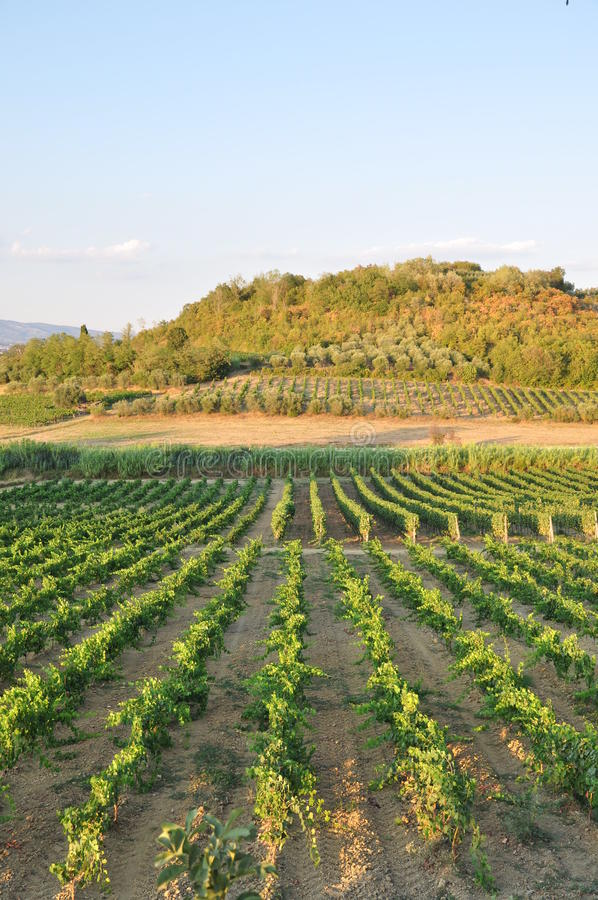 Toscaanse miniato Italië van chiantiwijngaarden San   stock foto's