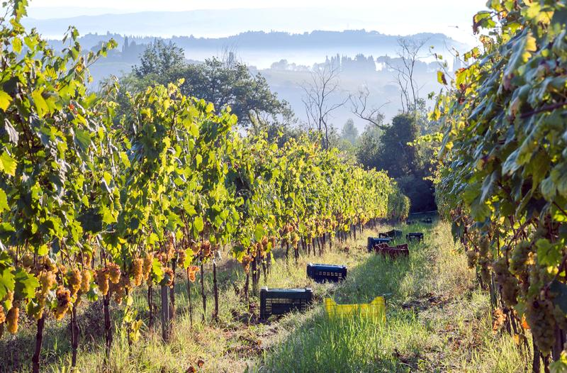 Toscana morning with mist at harvest time. Grapeyards at beautiful fields of Tuscany, with green valleys, hills around. royalty free stock image