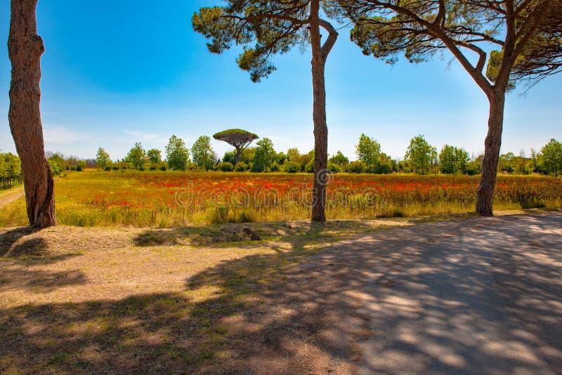 Toscana - paisaje hermoso, trayectoria con la sombra debajo de los pinos, campos con las amapolas salvajes imágenes de archivo libres de regalías
