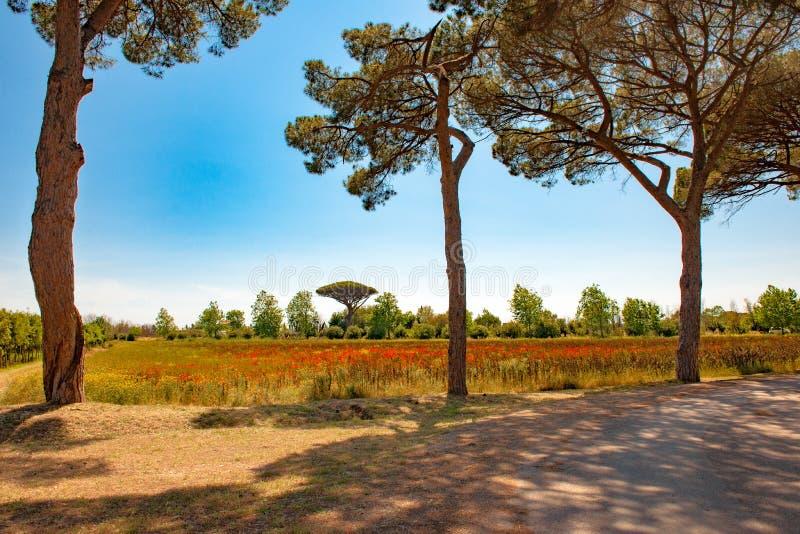 Toscana - trayectoria en sombra debajo de pinos, prado con las flores salvajes y amapolas fotografía de archivo