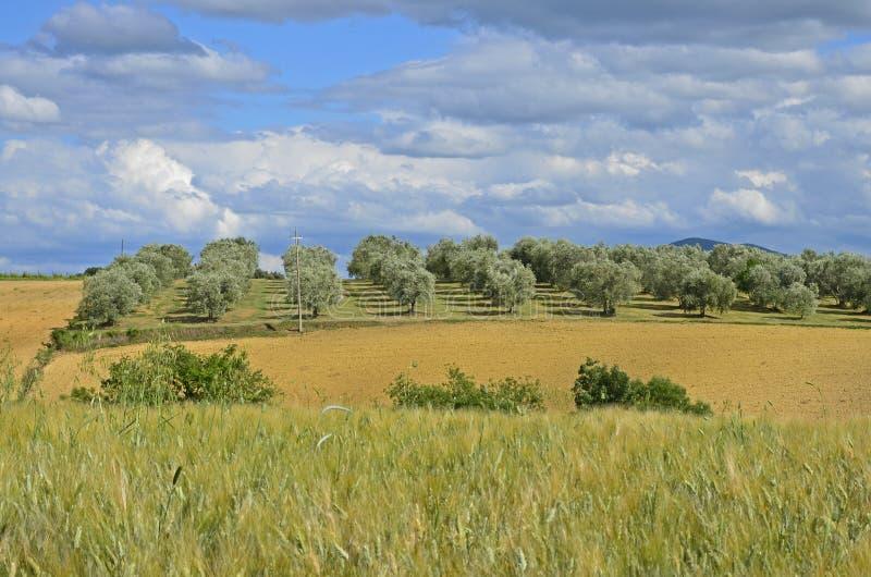 Toscanië: Olijfgaard en hayfield royalty-vrije stock fotografie