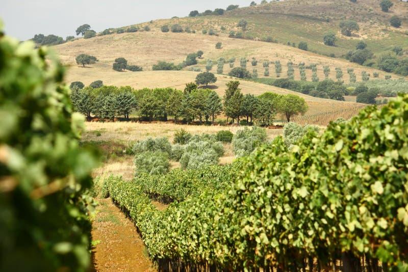 Toscany vingårdlandskap royaltyfri foto