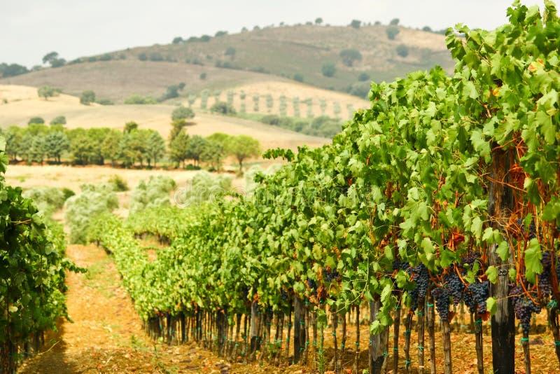 Toscany vingårdlandskap fotografering för bildbyråer
