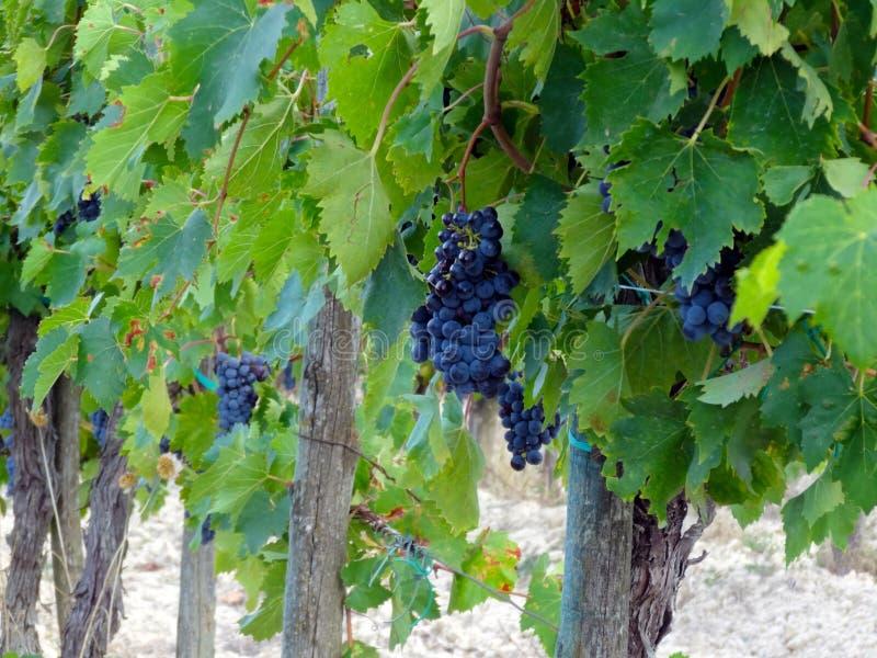 Toskańscy win winogrona obraz royalty free