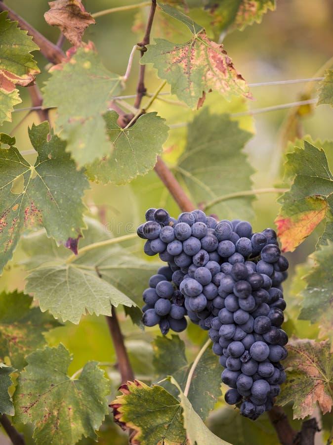 Toskańska wiązka winogrona zdjęcia royalty free