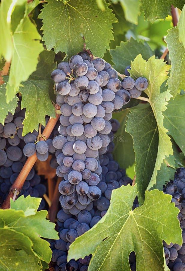 Toskański winnica z czerwonymi winogronami zdjęcie stock
