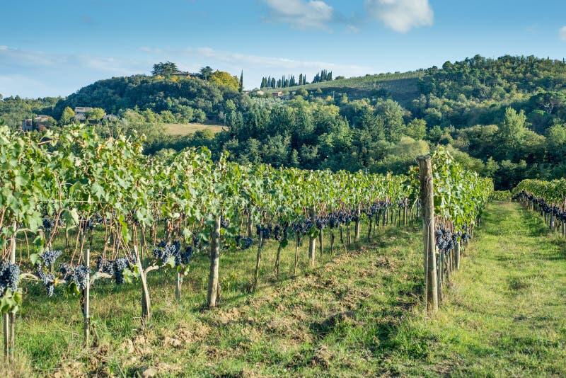 Toskańskiego winnicy wczesna jesień z rzędem winogrona obrazy royalty free